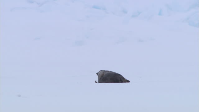 vídeos de stock, filmes e b-roll de a seal lying on the snow-covered ground in the north pole - cabeça para trás