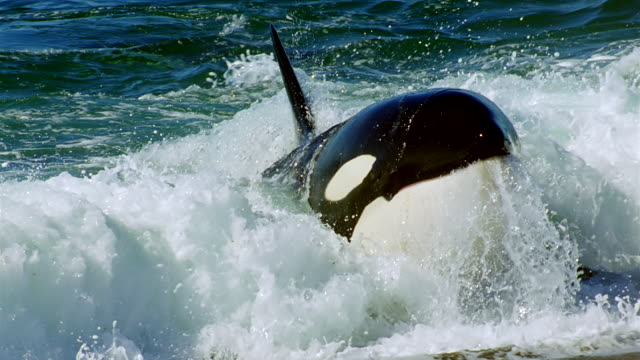 cu slo mo seal narrowly escaping from lunging killer whale in surf / patagonia, argentina - seal stamp stock videos and b-roll footage