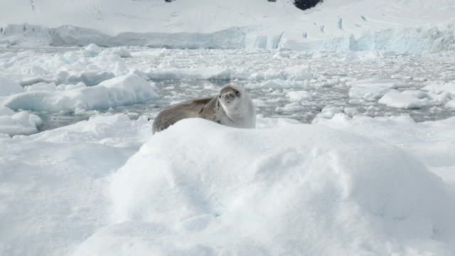 seal on the ice looking at the camera - seal animal stock videos & royalty-free footage