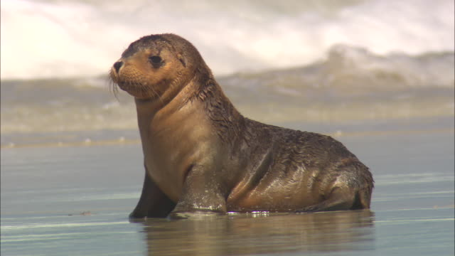 a seal pup ambles along the surf and scratches itself. - land stock videos & royalty-free footage