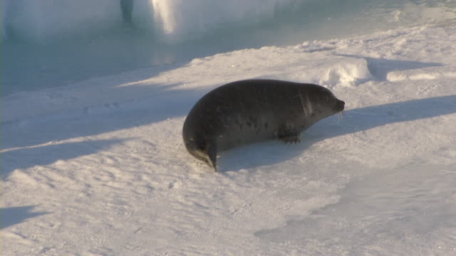 a seal pup crawls on a show-covered sheet of ice. - seal pup stock videos and b-roll footage