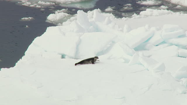 a seal pup crawls on ocean ice. - seal pup stock videos and b-roll footage