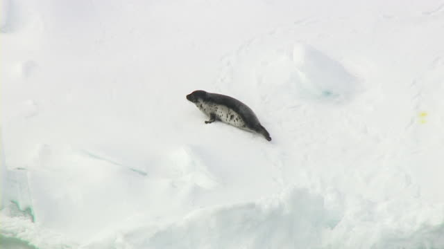 a seal pup crawls over ice and dives into the ocean. - seal pup stock videos and b-roll footage