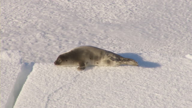 a seal pup crawls over ice. - seal pup stock videos and b-roll footage