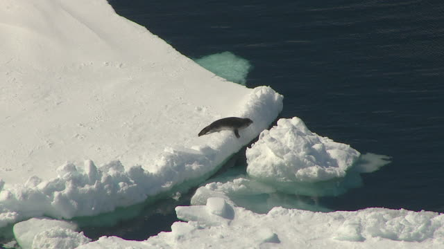 a seal pup dives into the ocean from the icy shore. - seal pup stock videos and b-roll footage