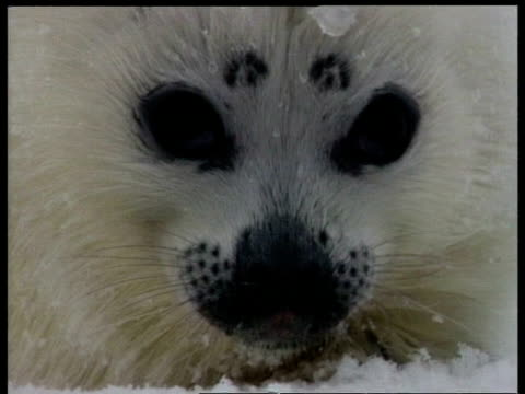 ecu seal pup face to camera, arctic circle - seal pup stock videos & royalty-free footage