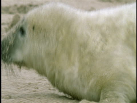 a seal pup follows its mother across the sand. - seal pup stock videos & royalty-free footage