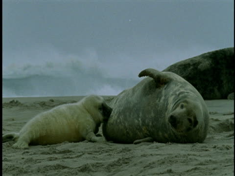 stockvideo's en b-roll-footage met a seal pup nurses as its mother reclines on beach. - achterover leunen