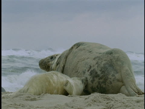 a seal pup nurses as its mother rests on beach. - seal pup stock videos & royalty-free footage