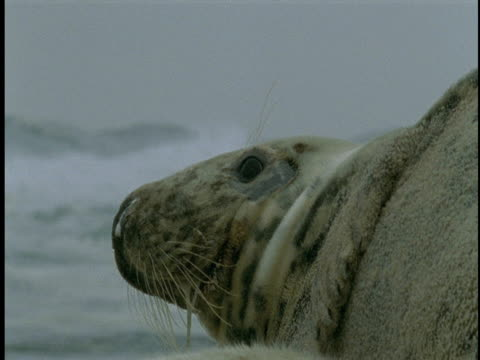 a seal pup nurses as its mother watches the surf on sable island. - seal pup stock videos and b-roll footage