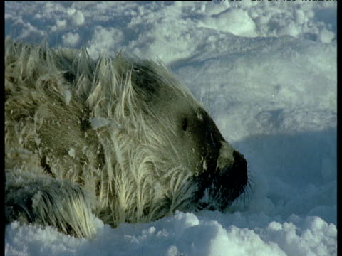 seal pup slides into hole in ice, svalbard - seal pup stock videos and b-roll footage