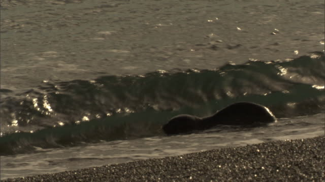 a seal pup swims through the surf. - seal pup stock videos and b-roll footage