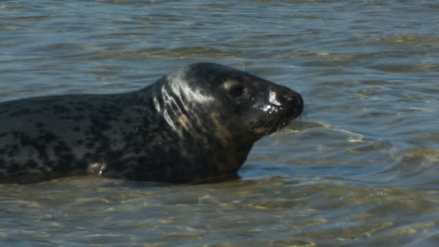 a seal pup wades in shallow water. - seal pup stock videos & royalty-free footage