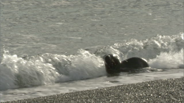 MS PAN Seal pup walking and swimming on beach near water's edge / Puerto Madryn, Chubut, Argentina