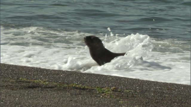 ms pan zi seal pup walking in waves / puerto madryn, chubut, argentina - seal pup stock videos and b-roll footage