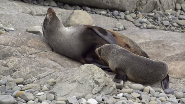 seal pup with mother - seal pup stock videos and b-roll footage