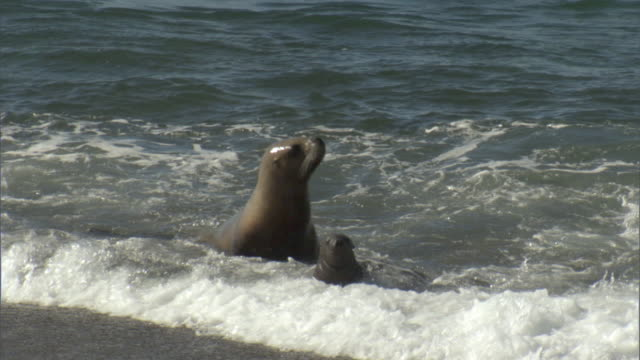 ms seal pup with seal walking in surf near beach under day sky / puerto madryn, chubut, argentina - seal pup stock videos & royalty-free footage