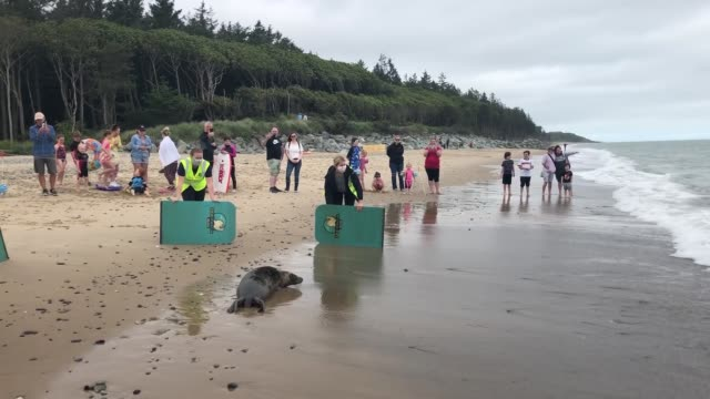 seal rescue ireland release grey seals scribbly gum, an 8 month old grey seal, and echinacea, a 7 month old, on a beach in courtown, co. wexford.... - grey seal stock videos & royalty-free footage