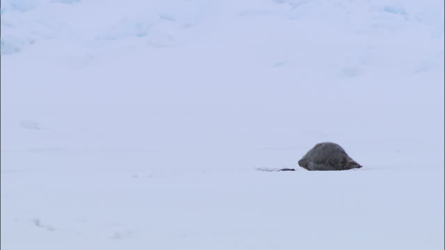 vídeos de stock, filmes e b-roll de a seal slapping on the snow-covered ground in the north pole - cabeça para trás