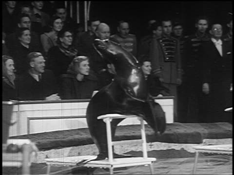 B/W 1955 seal standing on hind flippers clapping front flippers in circus / audience in background