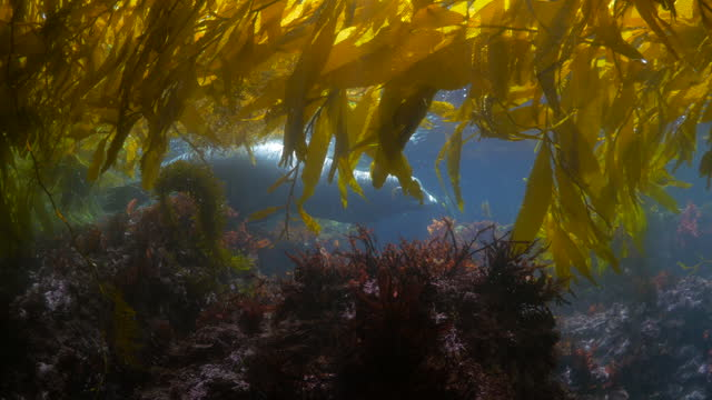 seal swimming by coral and laminariales plants in sea - monterey, california - kelp stock videos & royalty-free footage