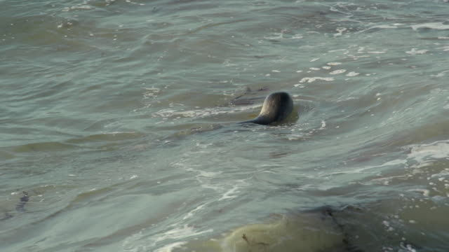 a seal swimming in the ocean.  - slow motion - goodsportvideo stock videos and b-roll footage