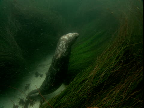 a seal swims amongst sea grass near the ocean floor and blows bubbles. - pazifik stock-videos und b-roll-filmmaterial