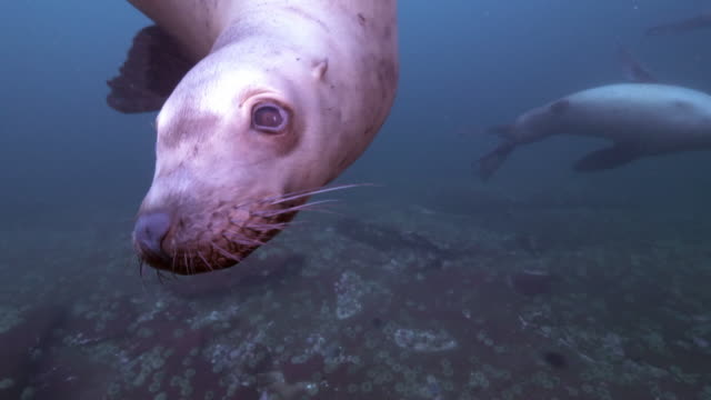 seal swims in front of camera, face in camera, then body in view, vancouver island, canada - vancouver canada stock videos & royalty-free footage
