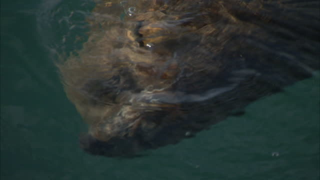 a seal swims in the ocean. available in hd - diving flipper stock videos & royalty-free footage