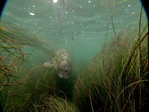 a seal swims past sea grasses. - ダイビング用のフィン点の映像素材/bロール