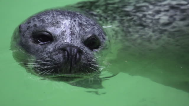 slow motion: seal - sea lion stock videos & royalty-free footage