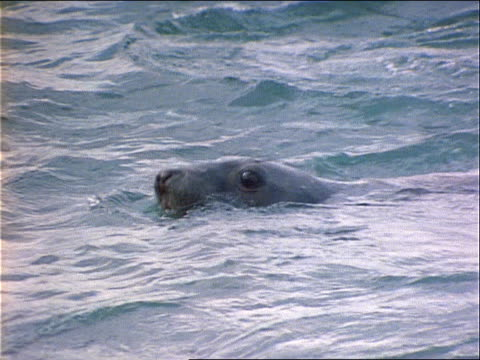 a seal vocalizes as it swims towards another seal. - wassersäugetier stock-videos und b-roll-filmmaterial