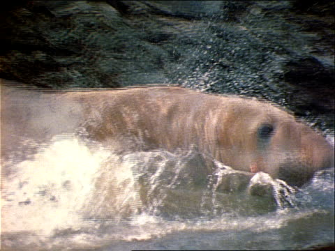 a seal waddles in shallow water. - shallow stock videos & royalty-free footage