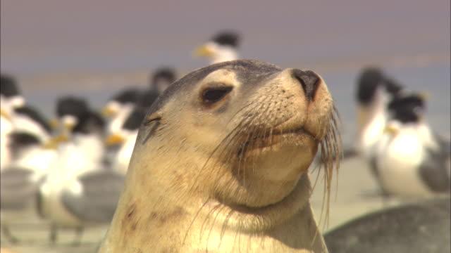 vidéos et rushes de a seal walks on a beach with flocks of birds. - phoque