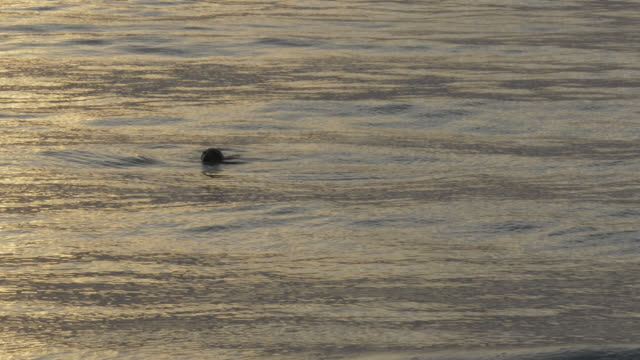 CU Seal with head above silver ocean water, submerges and disappears