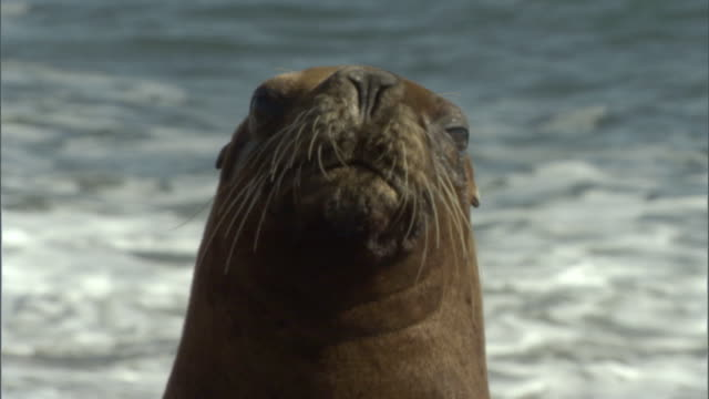 CU Seal with whiskers looking around at beach / Puerto Madryn, Chubut, Argentina