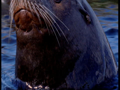 "vidéos et rushes de sealion looks around then submerges, vancouver - ""bbc natural history"""