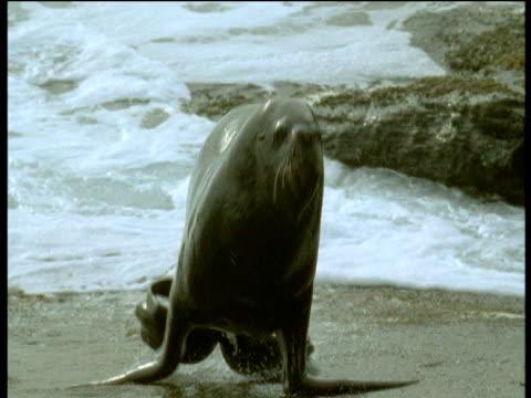 sealion lumbers towards camera, falkland islands - aquatic mammal stock videos and b-roll footage