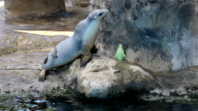 a sealion plays with christmas decorations at taronga zoo on december 21 2016 in sydney australia taronga's resident meerkats lemurs and sea lions... - sea lion stock videos & royalty-free footage