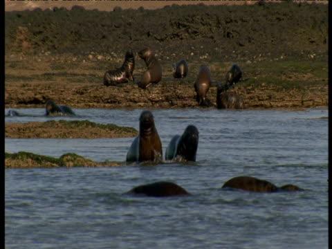 Sealion pups waddle towards camera through shallow water, Punte Norte, Argentina