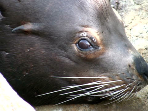 sea-lion seal face, close up - retina stock videos and b-roll footage