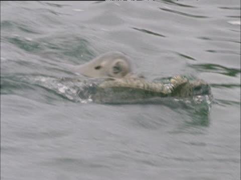Sealion swims alongside marine iguana, Galapagos Islands