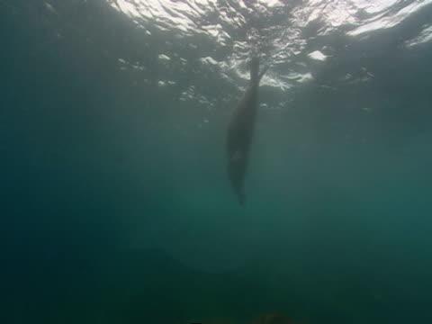 vídeos de stock, filmes e b-roll de a sealion swims over a coral reef and drifts towards the ocean's surface. - mamífero aquático