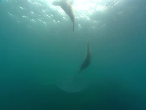 vídeos de stock, filmes e b-roll de sealions dart to the surface of the ocean as they play near a coral reef. - mamífero aquático