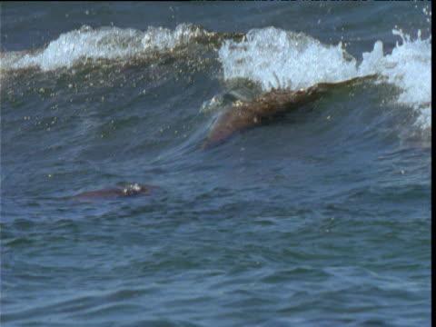 Sealions surf in breakers then flip and somersault, Kangaroo Island, South Australia