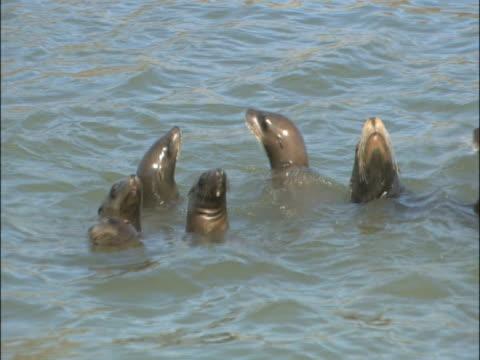 vídeos y material grabado en eventos de stock de sealions (zalophus californianus),swimming, ms. california, usa. - grupo mediano de animales