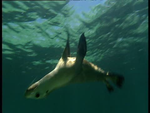 sealions swims, loops and darts away in shallows, essex rocks, western australia - sea lion stock videos & royalty-free footage