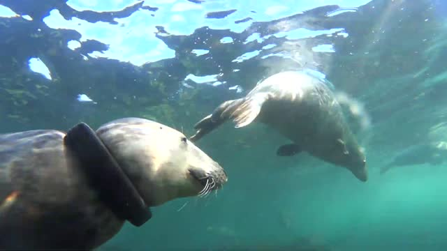 seal-loving diver was unsuccessful in his attempt to remove a rubber ring from a seal's neck off the english coast, he told storyful. ben burville,... - sea life stock videos & royalty-free footage