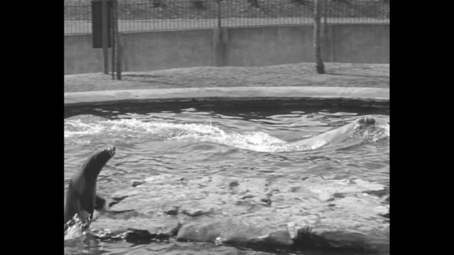 seals and elephant seal in water at st. louis zoo / keeper feeding seals out of bucket / elephant seal by edge making sounds with mouth open / keeper... - elephant seal stock videos & royalty-free footage