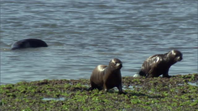 ms pan seals and seagull walking on marshland / peninsula valdes, puerto madryn, chubut, argentina - アザラシ点の映像素材/bロール